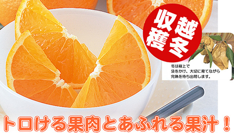 トロける果肉とあふれる果汁「清見タンゴール」